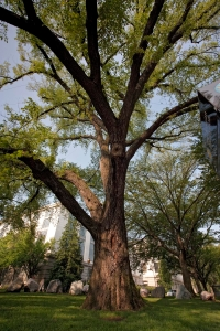 A mature elm tree at the National Museum of Natural History.