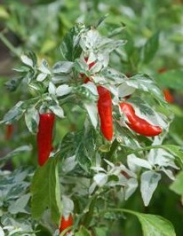 Fish Pepper, Capsicum annuum 'Fish'