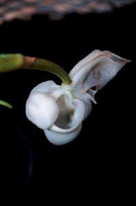 Coryanthes vasquezii orchid