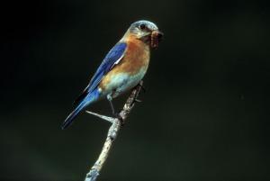 Eastern Bluebird. Photo Courtesy of U.S. Fish and Wildlife Service. Dave Menke, photographer.