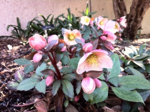 Hellebore 'Pink Frost'