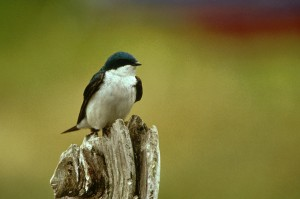 Tree Swallow. Image courtesy of the