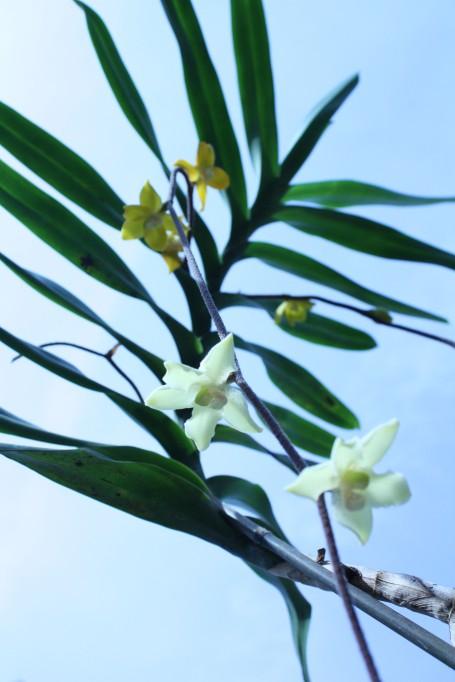 Dimorphorchis rossii 005