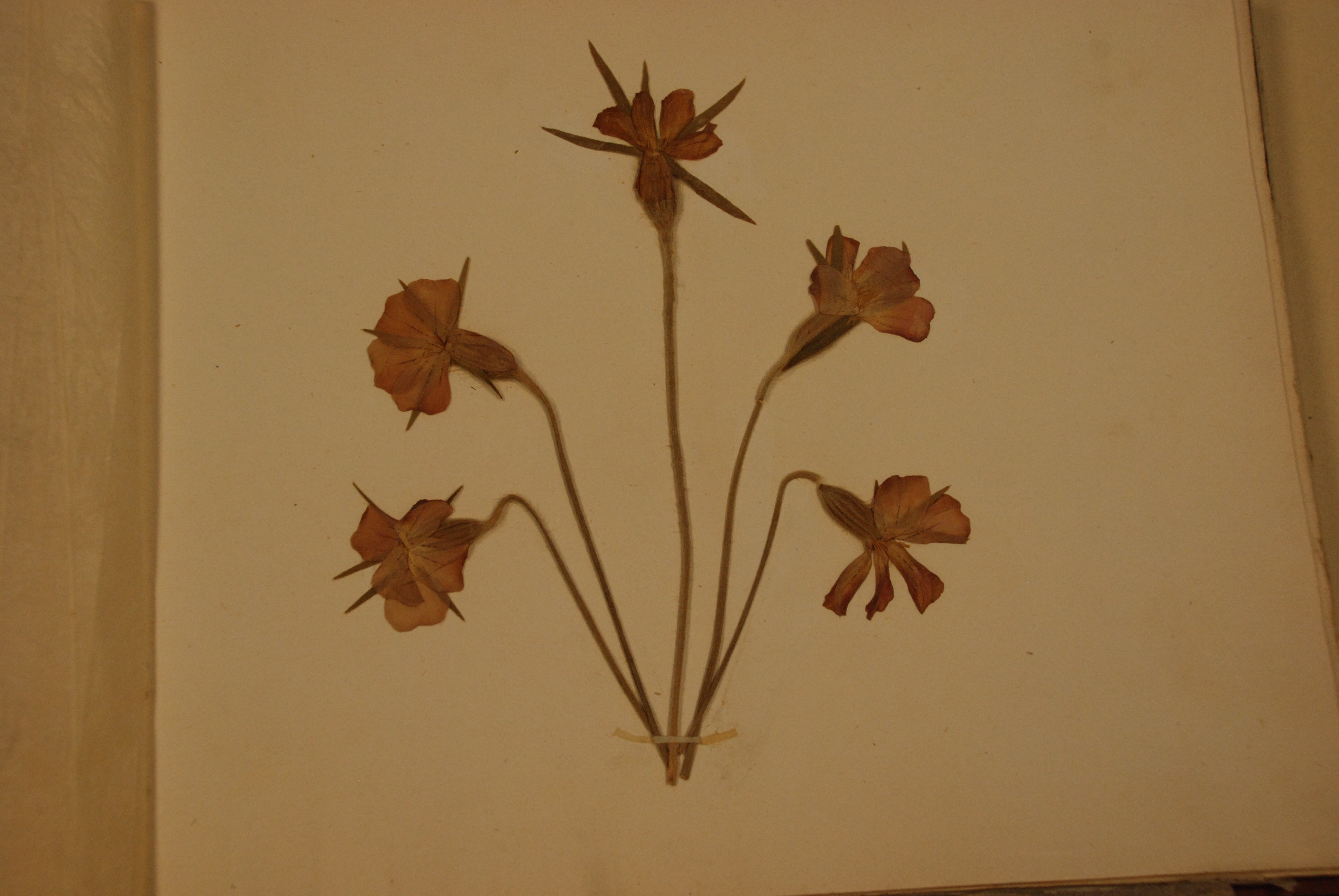 How to scrapbook dried flowers - Pressed Pinks