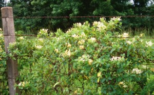 Japanese Honeysuckle (Lonicera japonica)