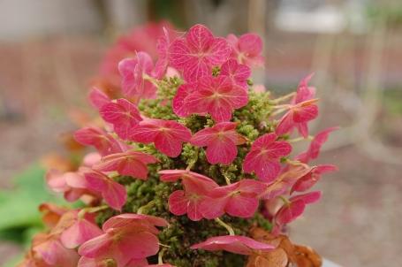 Oakleaf Hydrangea 'Ruby Slippers'
