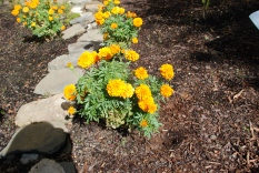 Marigolds at NMAI
