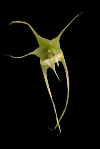 Aeranthes antennophora