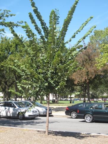 Princeton Elm (Ulmus americana 'Princeton')