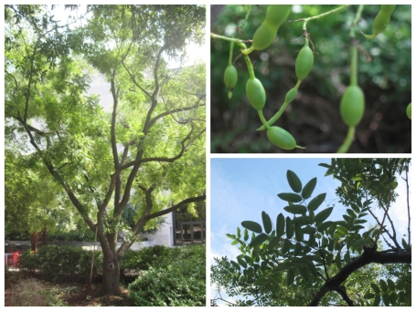 Chinese Scholar-tree (Sophora japonica)
