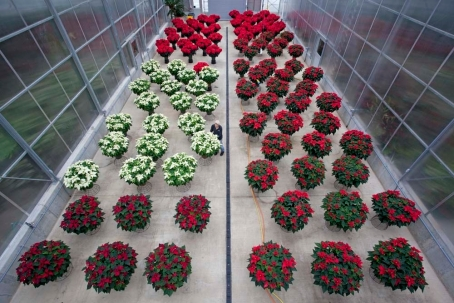 Poinsettias at the Smithsonian Gardens greenhouse facility.