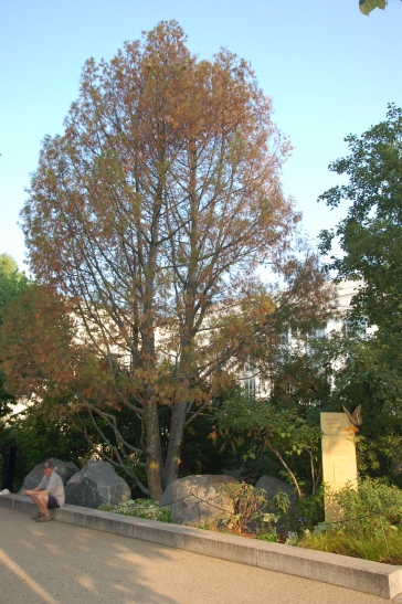 Lacebark pine (Pinus bungeana)