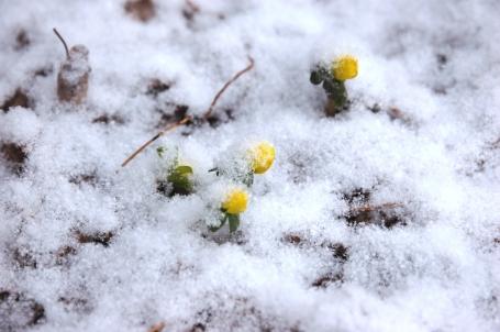 """Eranthus hymalis flower """"bubbles"""""""