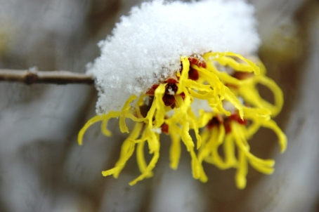 Hamamelis 'Arnold Promise' braving the snow.