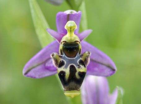 Ophrys orchid