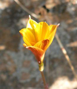 Habranthus tubispathus