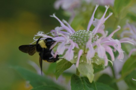 A bumble bee (bombus sp) foraging