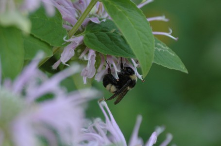 Bumble bee (bombus pennsylvanicus)
