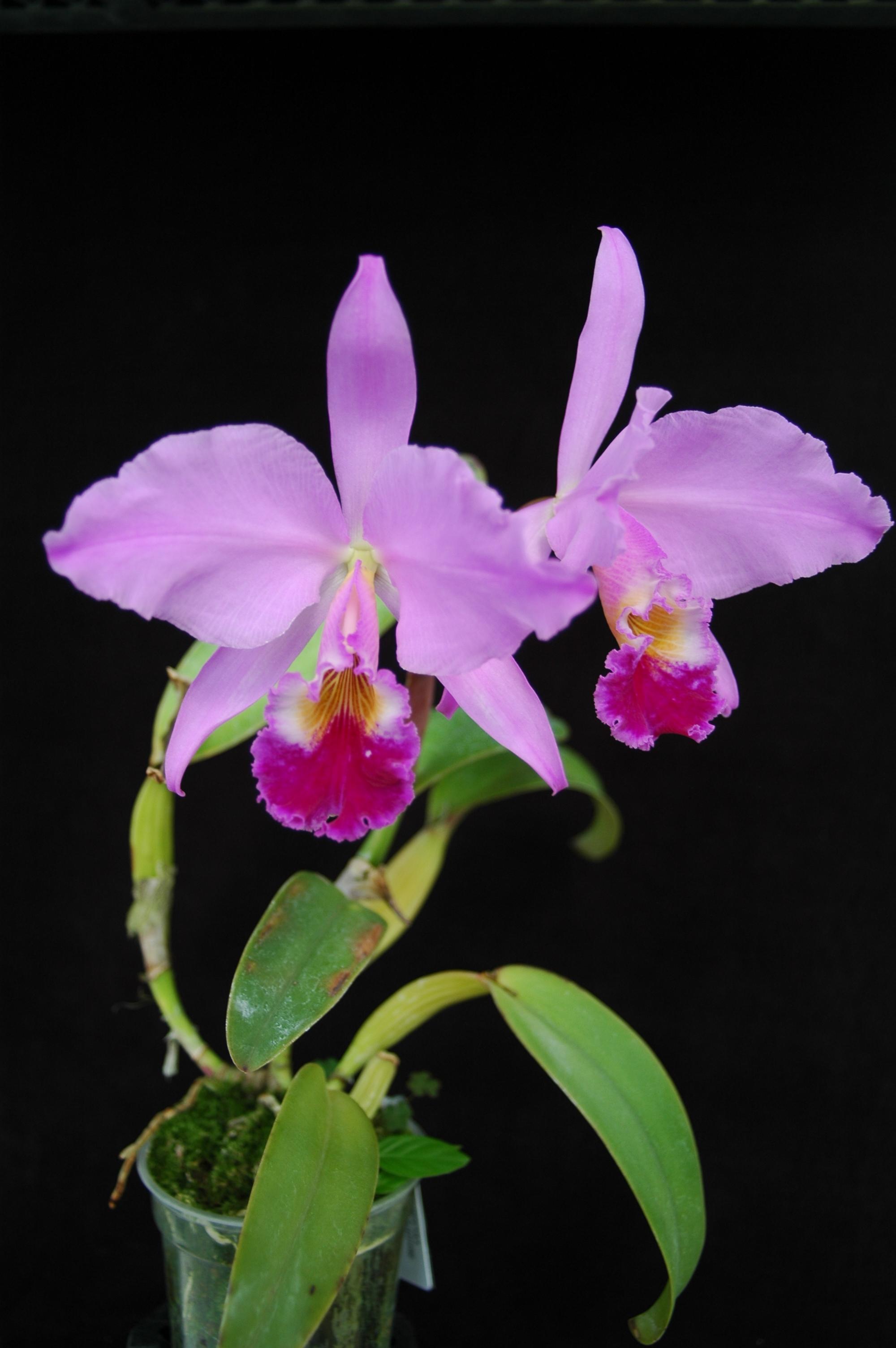 Cattleya labiata 1542 dark x self smithsonian gardens for Orchidea cattleya