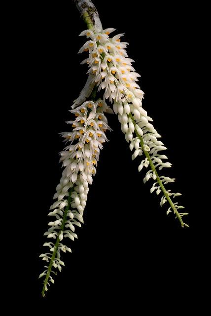Dendrobium secundum var. album