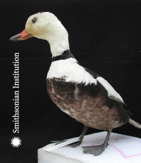 Labrador Duck