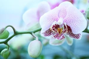 Phalaenopsis Merlot Mist 'Cascade' orchid