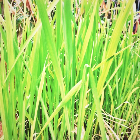 'Carolina Gold' rice growing in the Victory Garden
