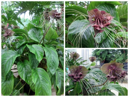 Tacca chantrieri plant