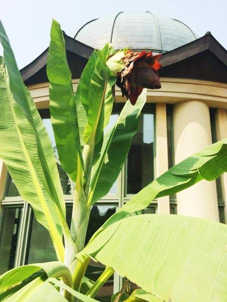 Cliff banana plant