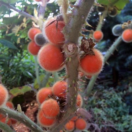 Solanum quitoense (naranjilla)
