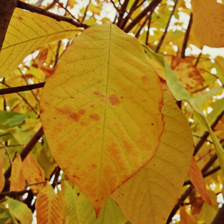 Pawpaw tree foliage