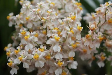 Oncidium Tsiku Marguerite 'HOF #3'