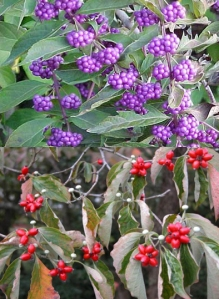 American beautyberry and flowering dogwood
