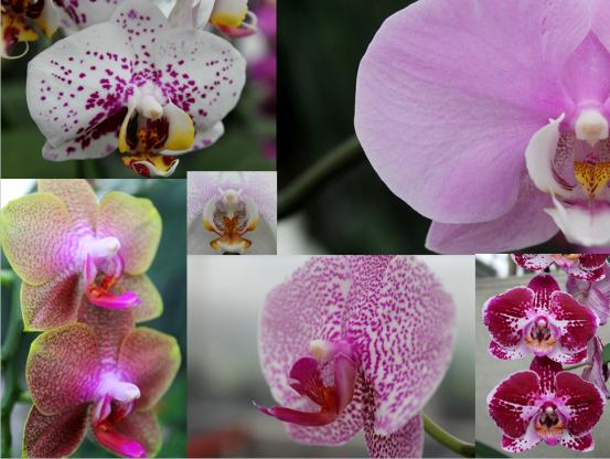 Novelty phalaenopsis hybrids