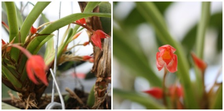 Ornithidium coccineum 'Superman David'