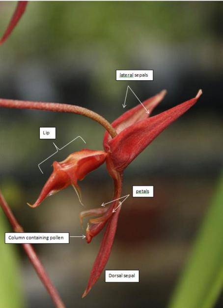 Gongora aff. quinquenervis from the Smithsonian Gardens Orchid Collection