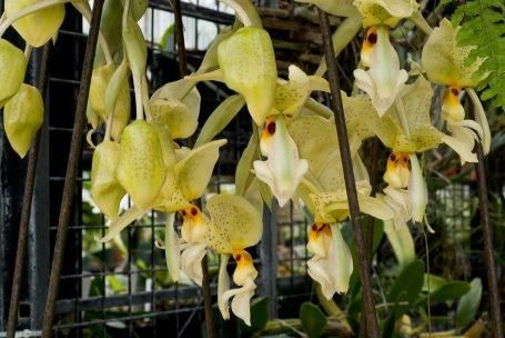 Stanhopea jenischiana from the Smithsonian Gardens Orchid Collection