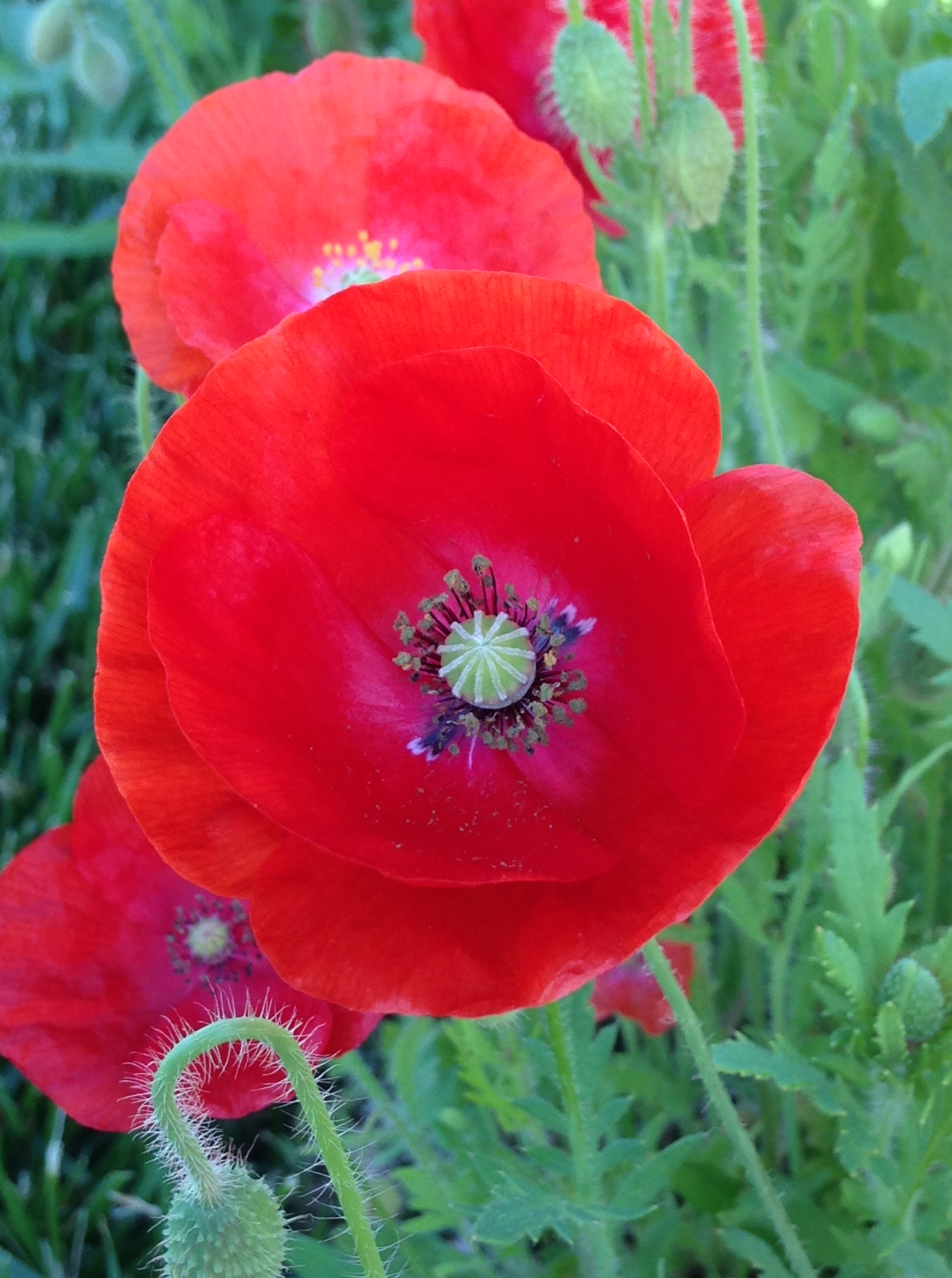 flanders field poppies at the national museum of american history