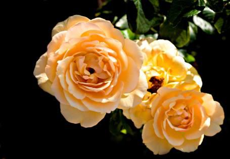 'Amber Queen' rose