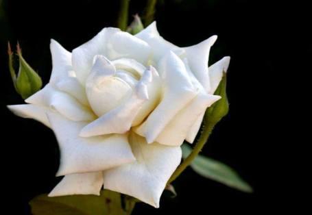 'Grand Finale' rose