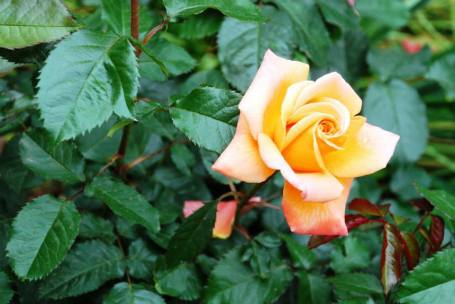 'New Year' rose
