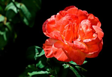 'Tropical Sunset' rose