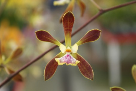 Encyclia Cindy