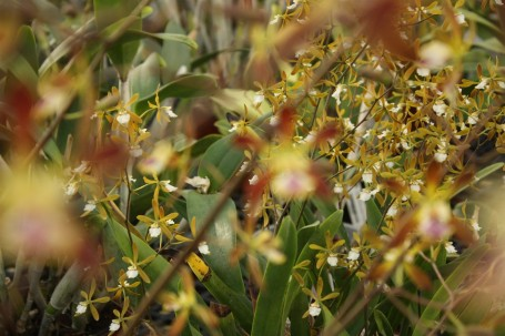 A clustering of Encyclia oncidioides behind Encyclia Cindy.