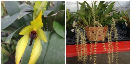 (L to R) Bulbophyllum claptennse and Bulbophyllum cocoinum