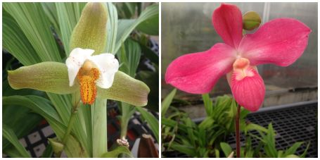 (L to R) Lycaste deppei Superb and Phrgmipedium Fritz Schomberg