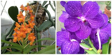 (L to R) Vanda Hiyasmin 'Korat' and Vanda Pachara Delight