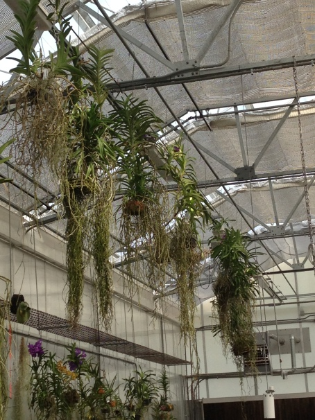 Vandas hanging in one of Smithsonian Gardens' orchid greenhouses.