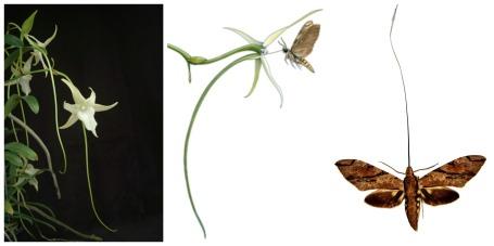 Angraecum sesquipedale var. angustifolium and a hawk moth