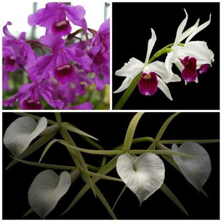 Top (L to R): Guarianthe bowringiana and Cattleya purpurata, Smithsonian Gardens Orchid Collection Bottom: Brassavola nodosa, Smithsonian Gardens Orchid Collection